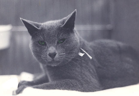 Champion Saphiriken Beau Bellis - my first Russian Blue